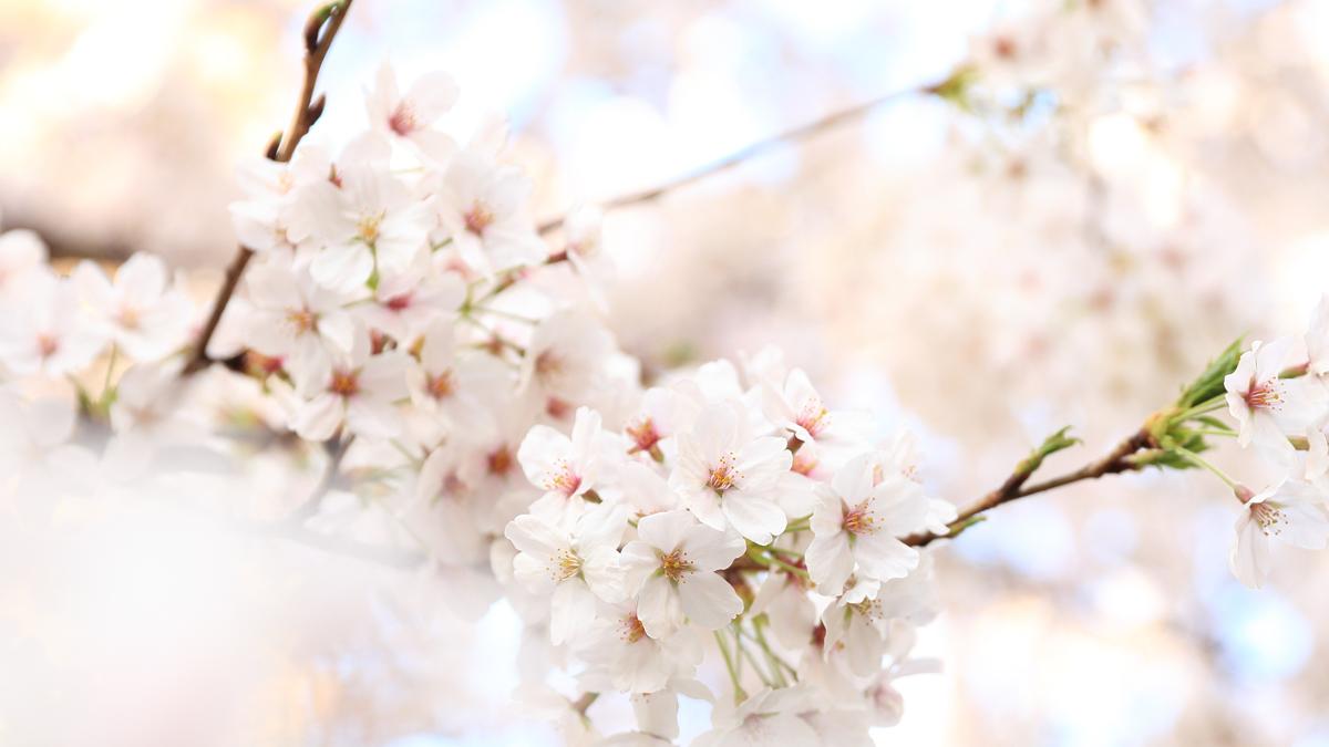festa dei meli in fiore lago di caldonazzo
