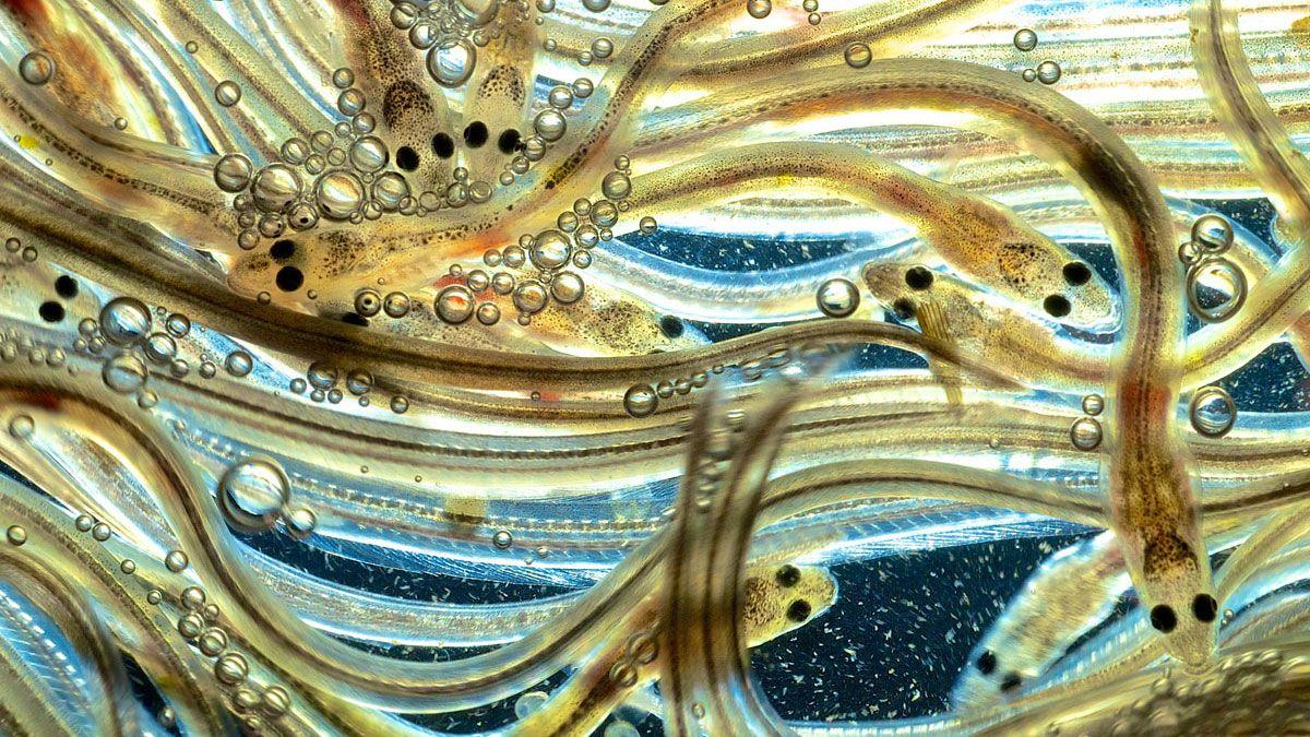 storia delle anguille